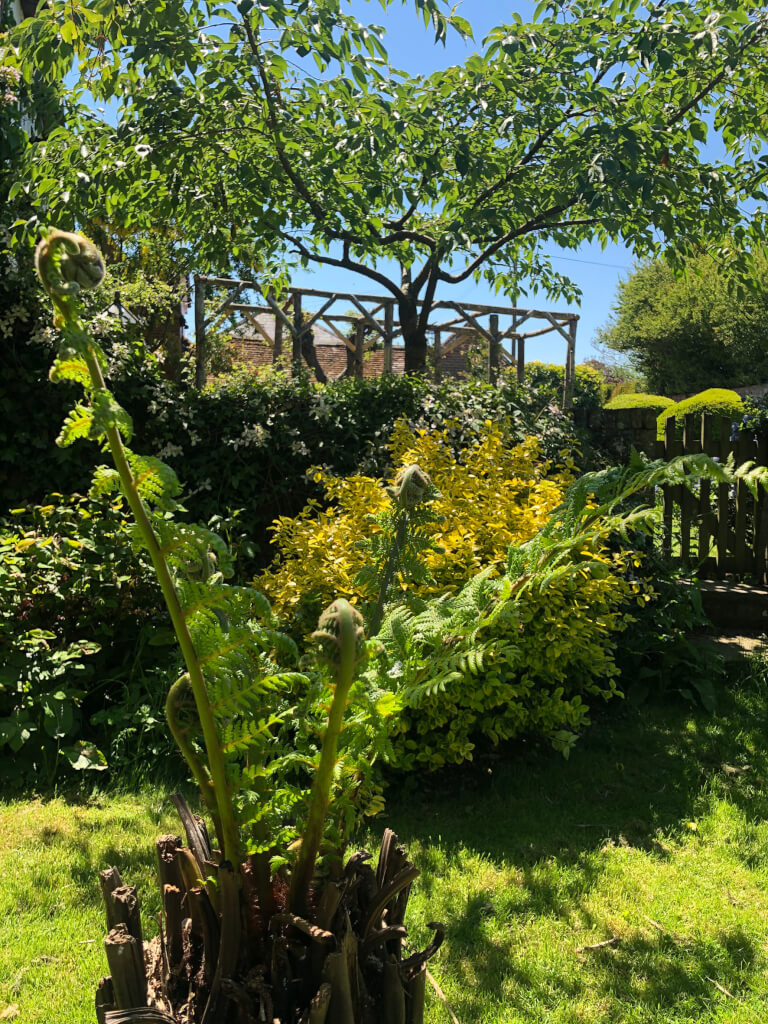 Spring growth in the giant tree fern in the Graingers garden